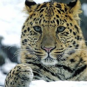 v_solkin_far_eastern_leopard_358873